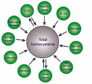 Total homocysteine. Diagram showing conditions that affect homocysteine levels.