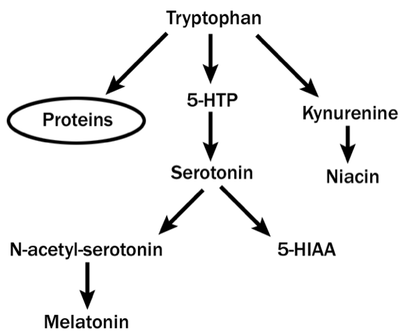 How tryptophan converts to serotonin